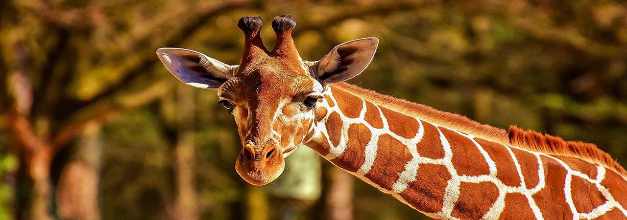 giraffes du parc