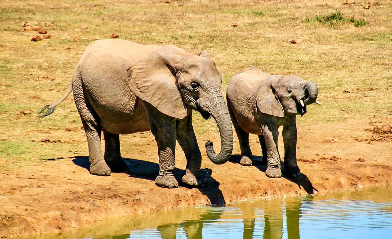 Elephants au Senegal