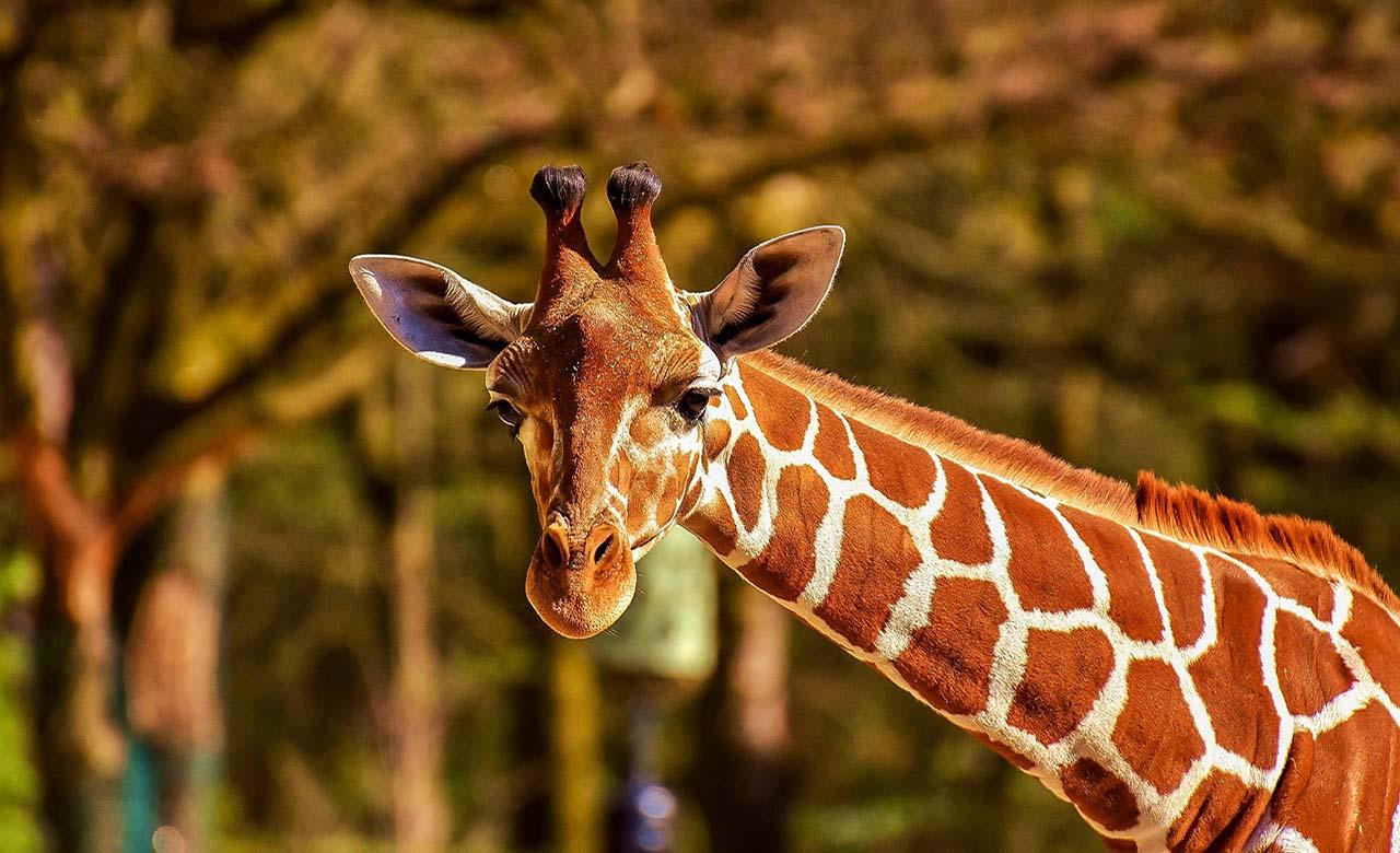 giraffe au Senegal